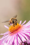 Bee on flower Royalty Free Stock Photography