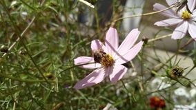 Bee on a flower of a pink daisy, background Royalty Free Stock Photo
