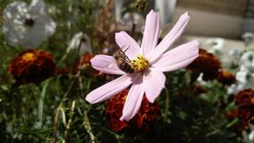 Bee on a flower of of a pink daisy, background Stock Photography