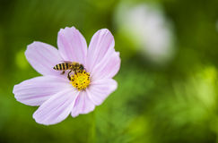 Bee and flower. Pink flower, Bee, green grass in Shenzhen University in Summer Stock Image