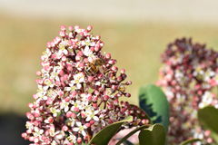 Bee on flower. Bee on the flower of pink skimmia Royalty Free Stock Image