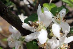 Bee flower polen Stock Photography