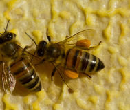 Bee with flower pollen Stock Photos