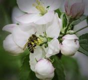 Bee in flower Stock Image