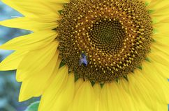 Bee in the flower pollen of sunflower on summer time. The honey bee works stock photo