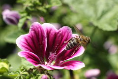 Bee in flower. Bee pollen work flower violet wing Stock Photos