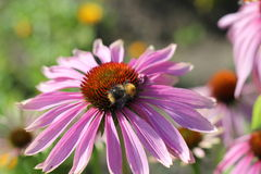 Bee on a Flower. Bee pollinating an Echinacea flower Royalty Free Stock Image