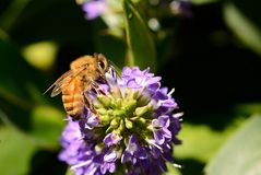 Bee on a flower. A bee pollinating a purple flower Stock Photos