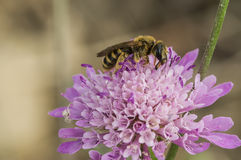 Bee on flower. Pollination. Captured in Italy Royalty Free Stock Photos
