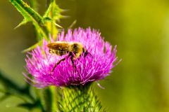 Bee on flower, pollination of weeds, collecting nectar royalty free stock photography