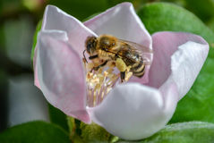 Bee. On the flower of quince Royalty Free Stock Images