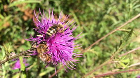 Bee on the flower stock footage