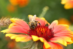 Bee on the flower Royalty Free Stock Photo