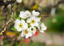 Bee on the flower Stock Photos
