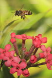 Bee on flower 4. Bee resting on flower nectaring Royalty Free Stock Photography