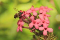 Bee on flower 5. Bee resting on flower nectaring Stock Image