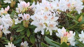 Bee on flower Rhododendron stock video footage