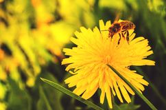 Bee. Flower and bee, Russia Royalty Free Stock Photos