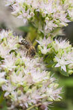 Bee on flower of sedum Stock Photos