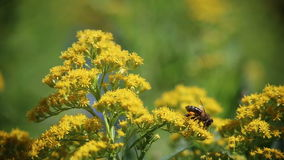Bee on the flower. stock video footage