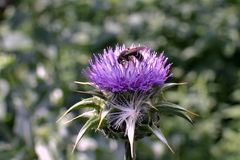 Bee on flower Silybum marianum in bloom. Bee on flower field with Silybum marianum in bloom, view of one flower in summer day stock photography