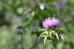 Bee on flower Silybum marianum in bloom. Bee on flower field with Silybum marianum in bloom, view of one flower in summer day stock photos
