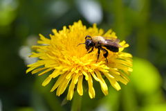 Bee on a flower. The bee sits on a yellow dandelion stock photography