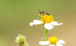 Bee on the flower. A bee is sitting on a flower stock photography