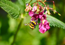 Bee on a flower. Bee sitting on a flower Stock Photography