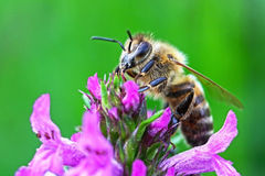 Bee on a flower. Bee sitting on a purple flower Stock Photography