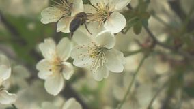 Bee on flower, slow motion stock footage