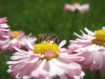 Bee on a flower. The small bee sits on a flower stock photo