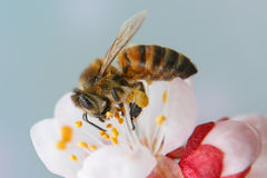 Bee on the flower. Bee on the spring blossoming almond flower royalty free stock photography