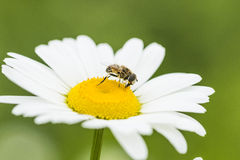 Bee and flower Stock Images