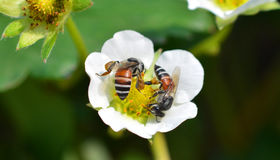 Bee on flower strawberries Royalty Free Stock Photography