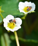 Bee on flower strawberries Stock Photos