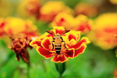 Bee and flower. Royalty Free Stock Photos
