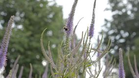 Bee on a flower in the summer, crawling pollinates. The concept of nature protection. stock video