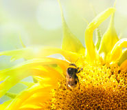 Bee on the flower in the sunflower Royalty Free Stock Images