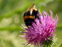 Bee on a flower of thistle close-up Royalty Free Stock Images