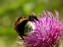 Bee on a flower of thistle close-up Stock Images