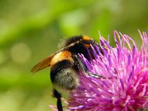 Bee on a flower of thistle close-up Royalty Free Stock Photo