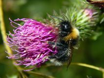 Bee on a flower of thistle close-up Royalty Free Stock Photography