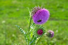 Bee on a flower of a Thistle Royalty Free Stock Image