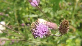 Bee on flower of thistle in summer. In Germany stock footage