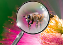 Bee and flower Royalty Free Stock Photography