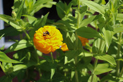 Bee on a flower. Bee on vibrant yellow marigold flower surrounded by green leaves Royalty Free Stock Photography