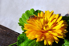 Bee on the Flower Royalty Free Stock Photography