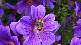 Bee on the flower stock video footage
