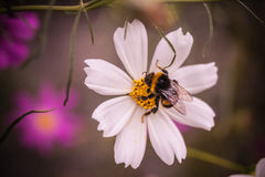 Bee the flower. White flower and a bee Royalty Free Stock Images